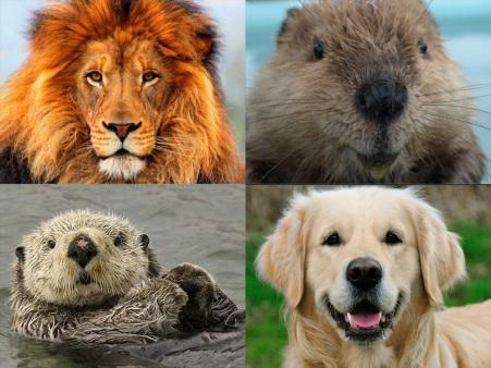 personality_test_lion-beaver_otter_-golden_retriever-31